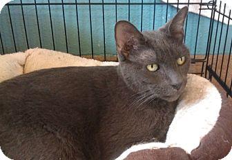 Russian Blue Cat for adoption in Coronado, California - Flash