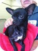 Chihuahua Mix Puppy for adoption in Hagerstown, Maryland - Pixie