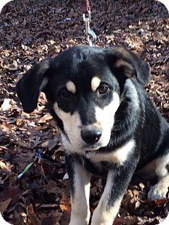 Labrador Retriever/Shepherd (Unknown Type) Mix Dog for adoption in Hatifeld, Pennsylvania - Blaze