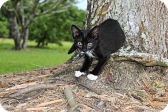 Hemingway/Polydactyl Kitten for adoption in Homestead, Florida - Polly