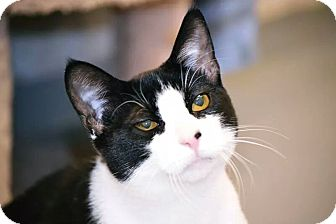 Domestic Shorthair Cat for adoption in Fort Riley, Kansas - Chevy