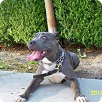Pit Bull Terrier Mix Dog for adoption in Santa Monica, California - Mia