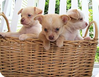 Chihuahua/Sheltie, Shetland Sheepdog Mix Puppy for adoption in Port St. Joe, Florida - Lawrence, David, Frankie