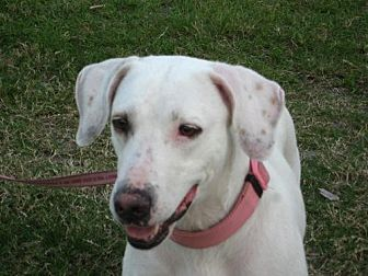 American Bulldog Mix Dog for adoption in Royal Palm Beach, Florida - Hope
