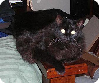 Domestic Longhair Cat for adoption in Oakland, California - Dena