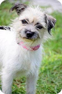 Terrier (Unknown Type, Small) Mix Dog for adoption in Bradenton, Florida - Mimi