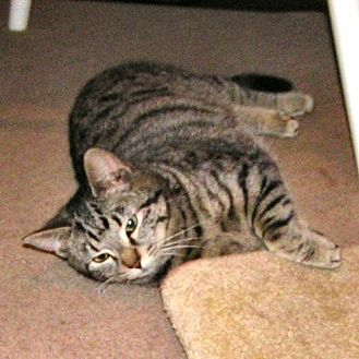 Domestic Shorthair Cat for adoption in Princeton, New Jersey - Bella3