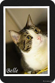 Domestic Shorthair Cat for adoption in Arlington/Ft Worth, Texas - Belle