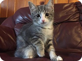 Domestic Shorthair Cat for adoption in Walworth, New York - Fuzzy