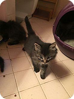 Maine Coon Kitten for adoption in Levelland, Texas - Maverick