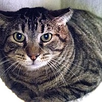 Domestic Shorthair Cat for adoption in Chicago, Illinois - Kate & Che