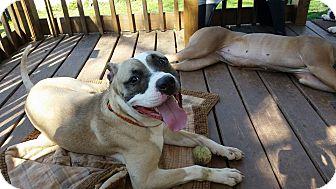 American Pit Bull Terrier Mix Dog for adoption in Reinholds, Pennsylvania - Albi