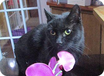 Domestic Shorthair Cat for adoption in Witter, Arkansas - Blackie