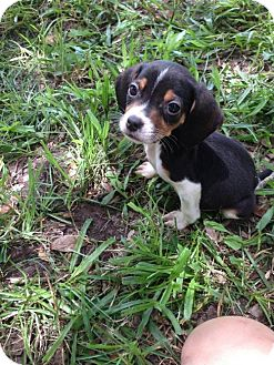 Beagle Puppy for adoption in Sanford, Florida - Ash