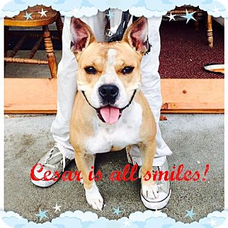 American Pit Bull Terrier Mix Dog for adoption in Lincoln, California - Cesar-good w/ kids&other dogs!