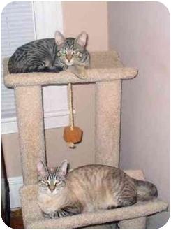Domestic Shorthair Cat for adoption in Milford, Connecticut - Tweak & KiKi