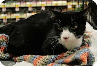Domestic Shorthair Cat for adoption in Sacramento, California - Winston