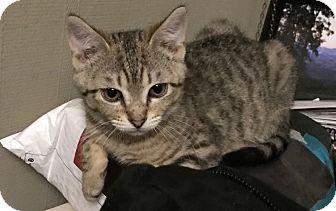 American Shorthair Kitten for adoption in Barrington, New Jersey - Star