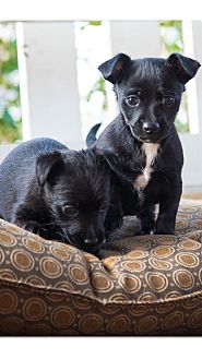 Chihuahua Mix Puppy for adoption in Charlotte, North Carolina - Tink