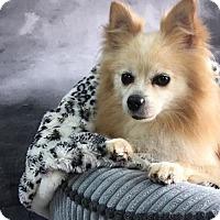 Adopt A Pet :: Max Steele - Dallas, TX