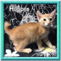 Adopt A Pet :: Hopper - Bradenton, FL