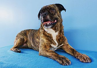 Pug/Boston Terrier Mix Dog for adoption in La Mirada, California - Pooh