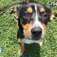 Adopt A Pet :: Chief - Kimberton, PA