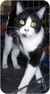 Domestic Shorthair Cat for adoption in Oklahoma City, Oklahoma - Jackie