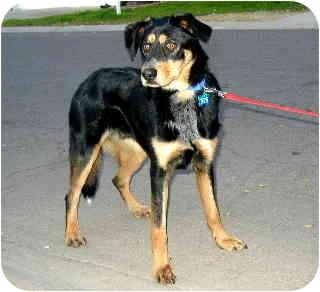 Rottweiler/Cattle Dog Mix Dog for adoption in Scottsdale, Arizona - Aiden