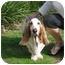 Photo 3 - Basset Hound Dog for adoption in Folsom, Louisiana - Marvin