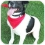 Photo 2 - Feist/Rat Terrier Mix Dog for adoption in Olive Branch, Mississippi - Cee Cee