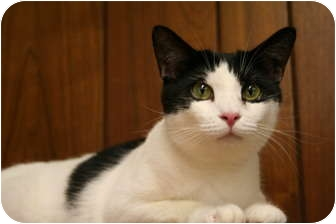 Domestic Shorthair Kitten for adoption in Naples, Florida - Gracie Mae