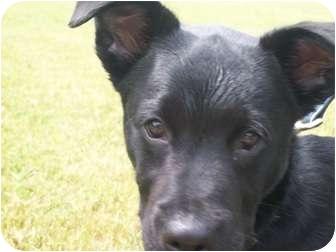 Labrador Retriever Mix Puppy for adoption in Derry, New Hampshire - Pilot
