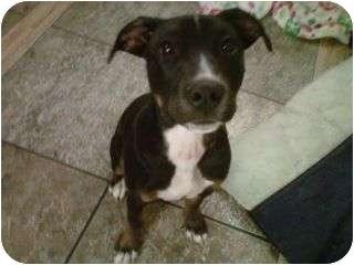 American Pit Bull Terrier/Labrador Retriever Mix Dog for adoption in Eaton, Colorado - Remi