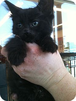 Domestic Shorthair Kitten for adoption in Tracy, California - Luna-ADOPTED!