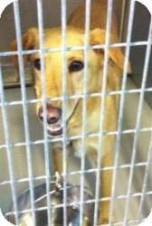 Labrador Retriever Mix Dog for adoption in Olathe, Kansas - Tess