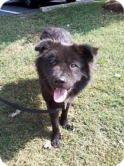 Chow Chow Mix Dog for adoption in Tucker, Georgia - Biscuit