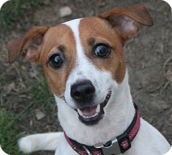 Jack Russell Terrier/Terrier (Unknown Type, Small) Mix Dog for adoption in North Olmsted, Ohio - Taffy-Courtesy Post
