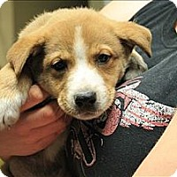 Adopt A Pet :: Teddy(ADOPTED!) - Chicago, IL