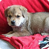 Adopt A Pet :: CHAOS - Loxahatchee, FL