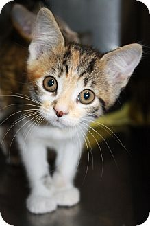 Domestic Shorthair Kitten for adoption in Covington, Louisiana - Minnie