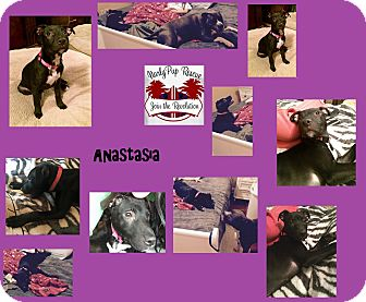Pit Bull Terrier/Labrador Retriever Mix Puppy for adoption in Islip Terrace, New York - Anastasia