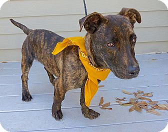Basset Hound/Terrier (Unknown Type, Medium) Mix Dog for adoption in Baton Rouge, Louisiana - Bowie