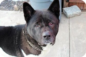 Akita Dog for adoption in Toms River, New Jersey - Trenti