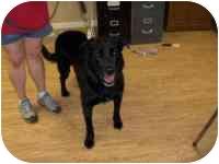 Labrador Retriever Mix Dog for adoption in Ephrata, Pennsylvania - Goose