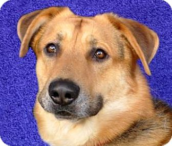 German Shepherd Dog Mix Dog for adoption in Renfrew, Pennsylvania - Boe