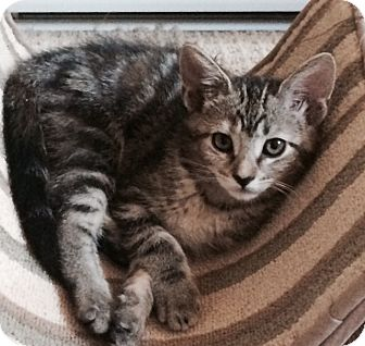 Domestic Shorthair Kitten for adoption in Las Vegas, Nevada - Taylor