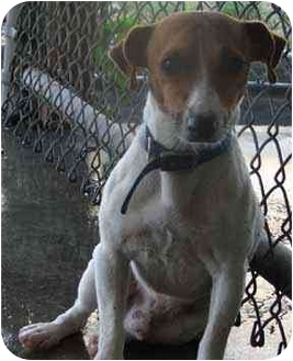 Jack Russell Terrier Mix Dog for adoption in West Warwick, Rhode Island - Danny