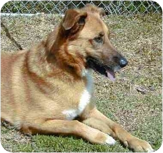 German Shepherd Dog Mix Dog for adoption in San Clemente, California - HAZEL