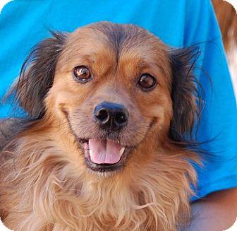 Spaniel (Unknown Type) Mix Dog for adoption in Las Vegas, Nevada - Jerry